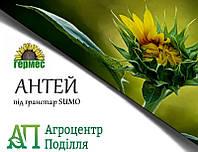 Семена подсолнечника под гранстар Антей 107-111 дн.