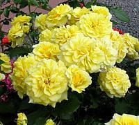 Саженцы роз. Роза чайно-гибридная Штернталер