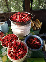 Плоды лимонника китайского в вакууме