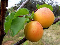Саженцы Абрикос ананасный