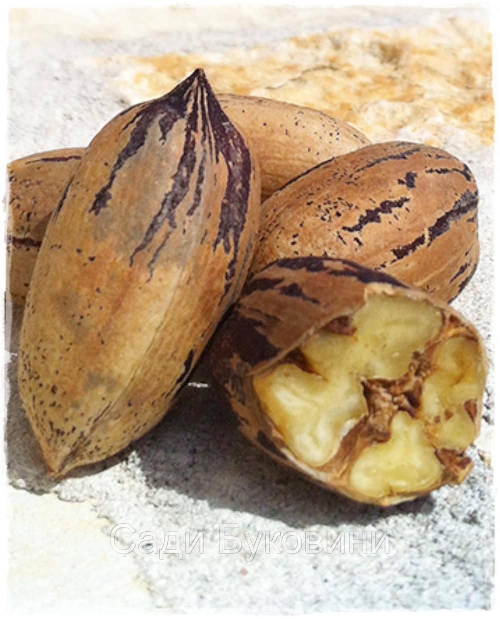 Саженцы ореха Пекан Шавния (однолетние)