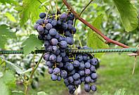 Саджанці винограду Агат Донський (Агат Донской), фото 1