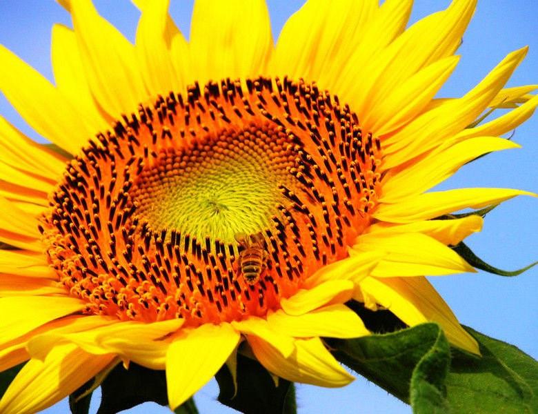 Насіння соняшника НС Таурус, посівний матеріал