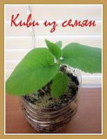 Киви семена, фото 1
