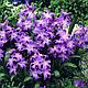 Набор фиолетовых  луковичных цветов (75 луковиц), фото 5