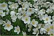 Набор белых луковичных цветов (75 луковиц), фото 2