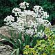 Набор белых луковичных цветов (75 луковиц), фото 5