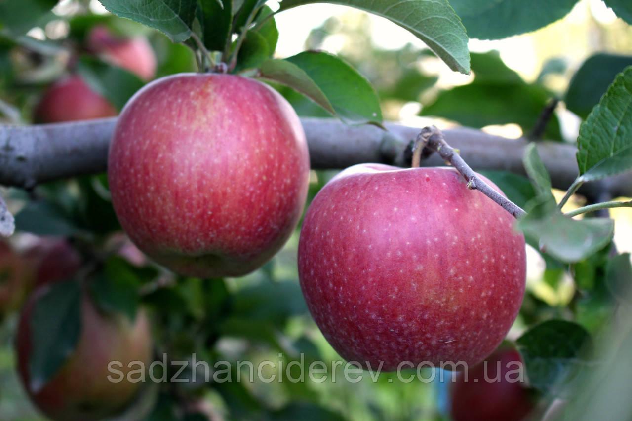 Саджанці яблунь Росавка