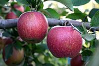 Саджанці яблунь Росавка, фото 1