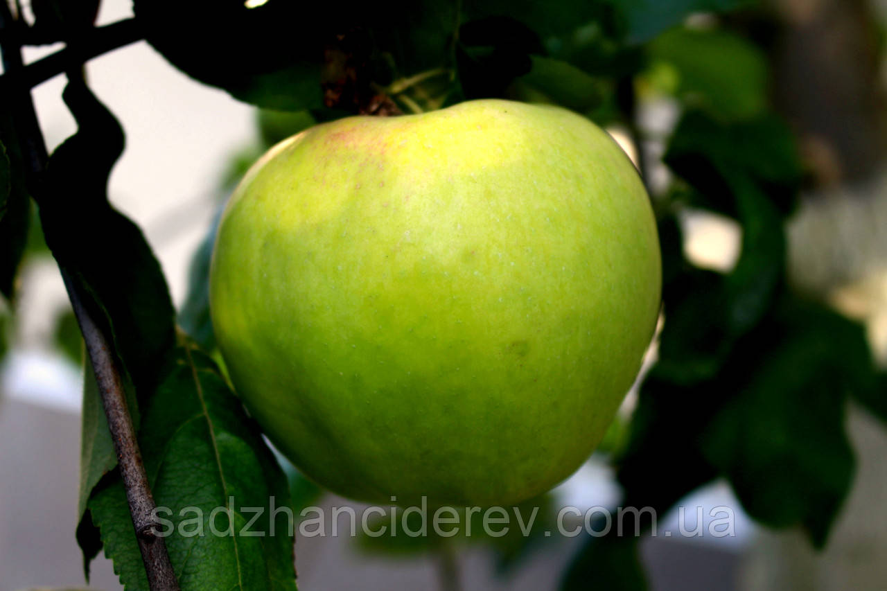 Саджанці яблунь Сапфір