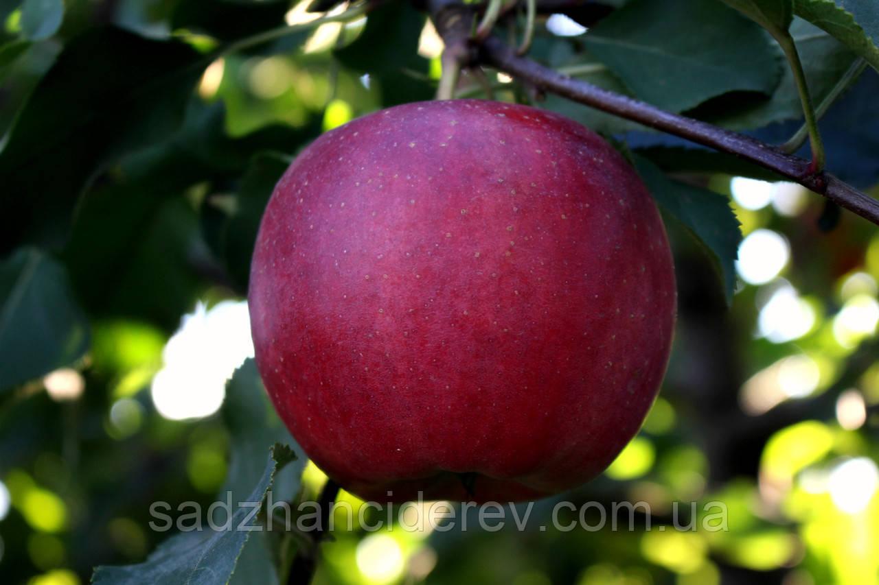 Саджанці яблунь Райка