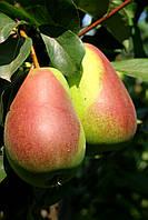 Саджанці груші Красива