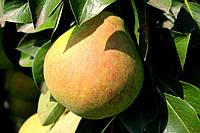 Саджанці груші Велика літня (Большая летняя), фото 1