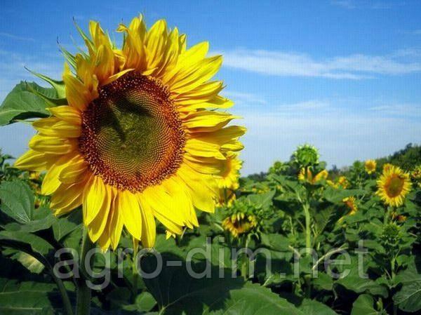 Семена подсолнечника ЕС Аркадия, фото 2