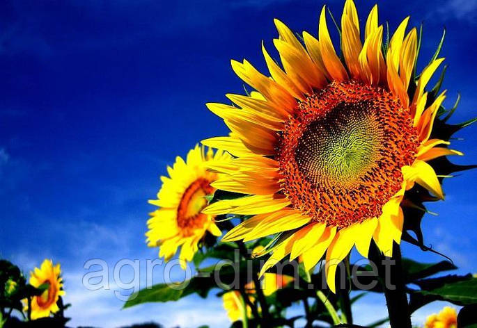 Гибрид семян подсолнечника Сингента НК Роки, фото 2