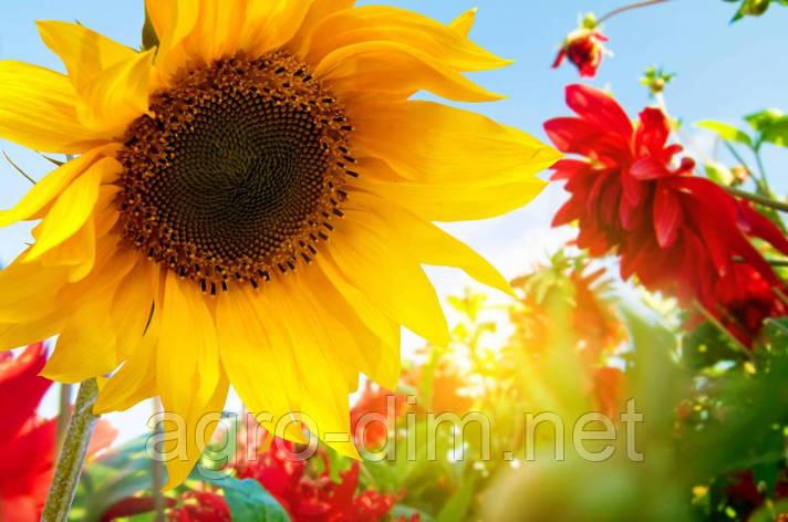 Семена подсолнечника ТОРСУН, фото 2