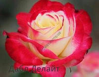 Саженец кустовой  розы Дабл Делайт