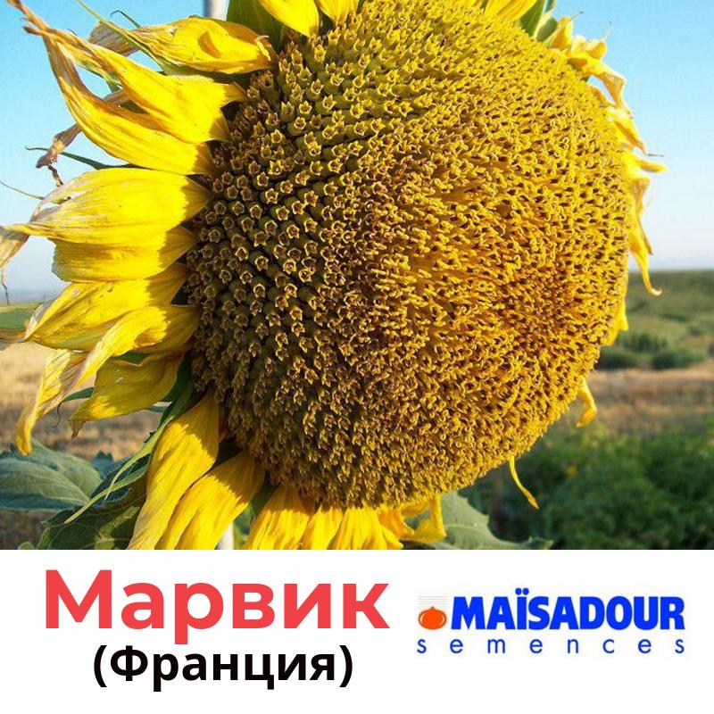 Семена подсолнечника Марвик Маисадур (Maisadour), Франция