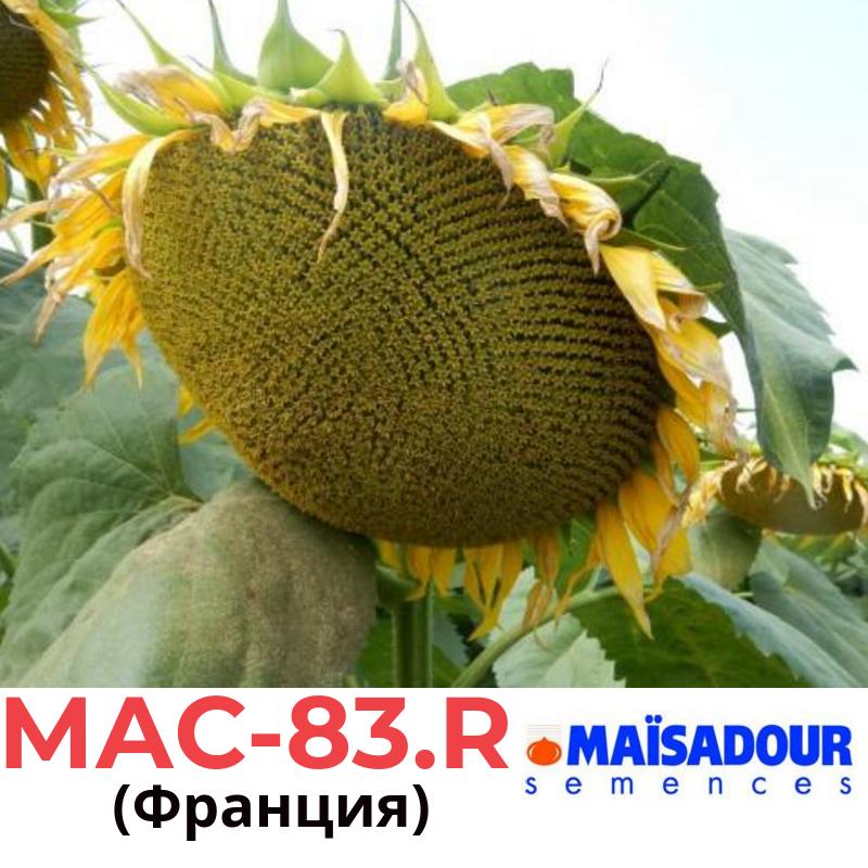 Семена подсолнечника МАС 83 Р (MAC 83 R), Майсадур (Maisadour), Франция