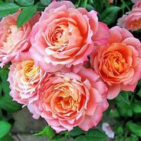 Роза штамбовая Бриоза