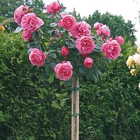 Роза штамбовая Леонардо да Винчи