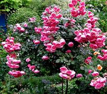 Роза штамбовая Помпонелла