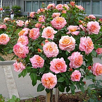 Роза штамбовая Мэри Энн