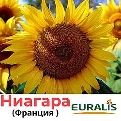 Семена подсолнечника  ЕС Ниагара, Евраліс (Euralis), Франция