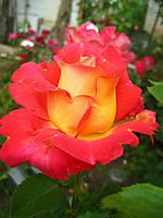 Саженцы роз Бонанза, полуплетистая роза