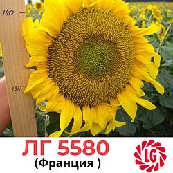 Семена подсолнечника ЛГ-5580 (LG 55.80) Лимагрейн, Франция