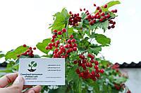 Калина обыкновенная семена 10 шт (семечки) для саженцев насіння на саджанці, фото 1