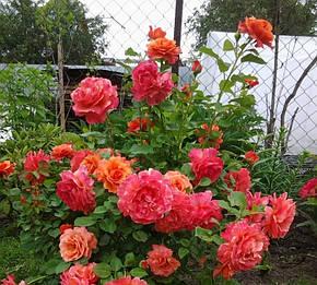 Роза Изи Даз Ит (Easy Does It) Флорибунда, фото 2