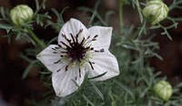 Чудодейственный Черный тмин: старинная приправа, древнее лекарство!