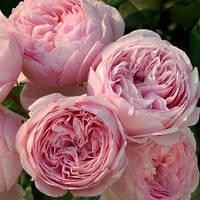 Саженцы роз Розовая английская, фото 1