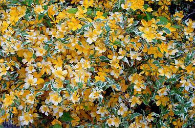 Керія японська Рicta 2 річна, Керрия японская Пикта, Kerria japonica Рicta