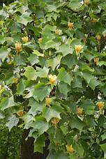 Тюльпанове дерево 2 річне, Тюльпановое дерево Лириодендрон, Liriodendron tulipifera, фото 2