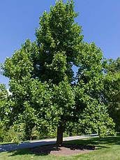 Тюльпанове дерево 2 річне, Тюльпановое дерево Лириодендрон, Liriodendron tulipifera, фото 3