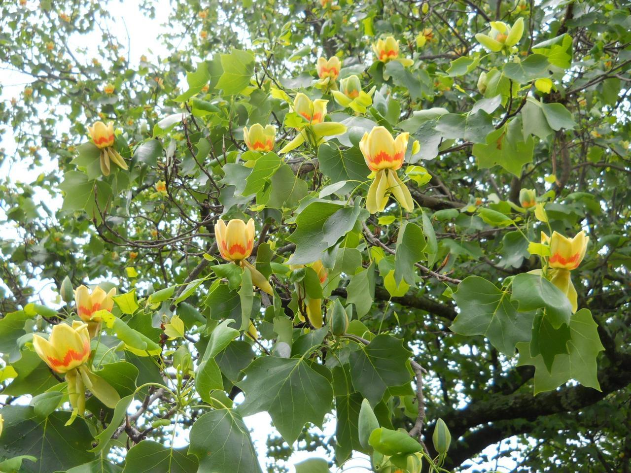 Тюльпанове дерево 2 річне, Тюльпановое дерево Лириодендрон, Liriodendron tulipifera