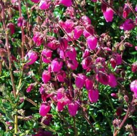 Дабеція катабрійська рожева 3 річна, Дабеция катарбийская розовая, Daboecia cantabrica