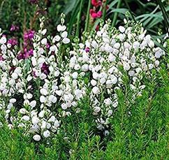 Дабеція катабрійська біла 3 річна, Дабеция катарбийская белая, Daboecia cantabrica, фото 3