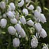 Дабеція катабрійська біла 3 річна, Дабеция катарбийская белая, Daboecia cantabrica