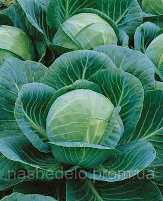 Семена капусты б/к Гилея премиум F1 500 семян Nasko