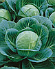Семена капусты б/к Гилея F1 500 семян Nasko