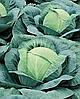 Семена капусты б/к Виват F1 500 семян Nasko