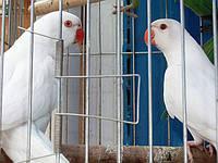 Ожереловый попугай., фото 1