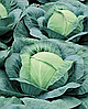 Семена капусты б/к Виват F1 10 000 семян Nasko