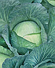 Семена капусты б/к Экстра F1 500 семян Nasko