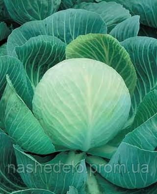 Семена капусты б/к Колобок F1 2500 семян Nasko