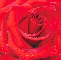 Фотообои Красная роза 196*210 (12лист)