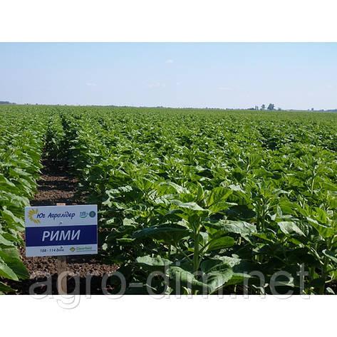 Семена подсолнечника Рими (Под Евролайтинг) Экстра, фото 2